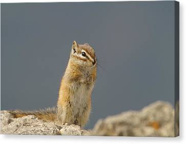 Little Chipmunk Canvas Print by Jeff Swan