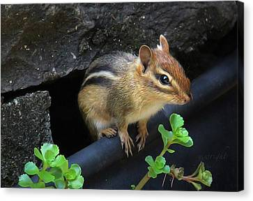 Little Chipmunk  Canvas Print