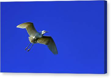 Little Egret, Egretta Garzetta Canvas Print