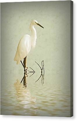 Little Egret Canvas Print by Sharon Lisa Clarke