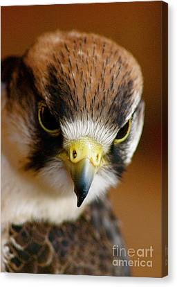 Canvas Print featuring the photograph Little Falcon by Louise Fahy