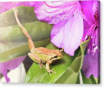Little Frog Stretching Leg While Inside Of Wild Flowers During B Canvas Print