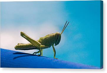 Little Grasshopper Canvas Print by Christopher Holmes