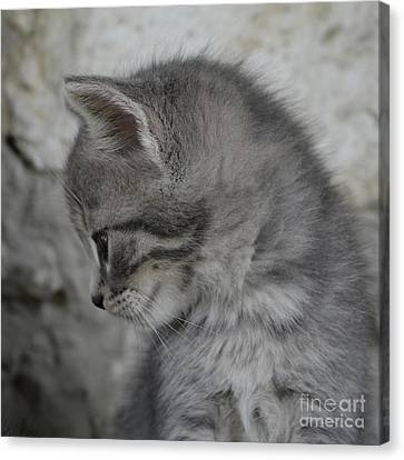 Little Gray Cat 4575 Canvas Print by Imre  Toth