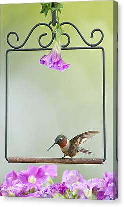 Little Hummer Inspecting The Garden Canvas Print by Bonnie Barry