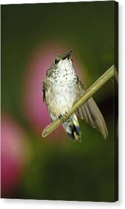 Little Humming Bird Canvas Print