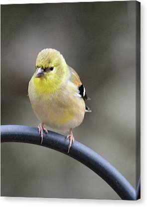 Little Hungry Bird Canvas Print by Jimmie Bartlett