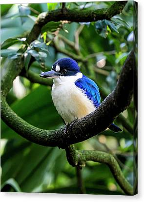 Canvas Print - Little Kingfisher - Australia by Steven Ralser