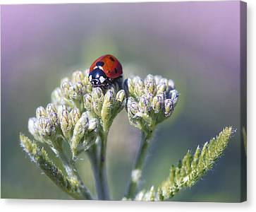 Little Lady On Top Canvas Print by Bill Tiepelman