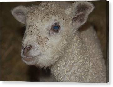 Little Lamb Canvas Print by The Art Of Marilyn Ridoutt-Greene