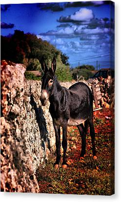 Little Mediterranean Donkey Dream Color With White Eyes And Belly  Hdr By Pedro Cardona Canvas Print by Pedro Cardona Llambias