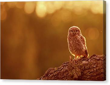 Little Owl In Red Canvas Print by Roeselien Raimond