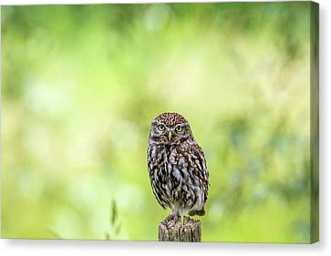 Little Owl Is Watching You Canvas Print by Roeselien Raimond