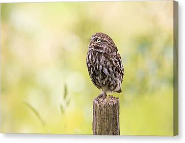 Little Owl Looking Up Canvas Print