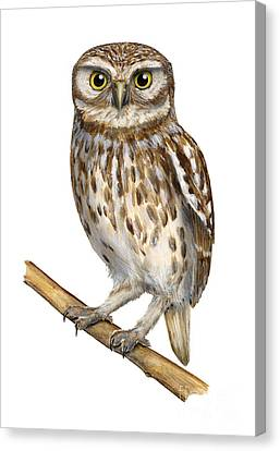 Canvas Print featuring the painting Little Owl Or Minerva's Owl Athene Noctua - Goddess Of Wisdom- Chouette Cheveche- Nationalpark Eifel by Urft Valley Art