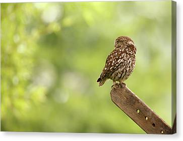 Little Owl Canvas Print by Roeselien Raimond