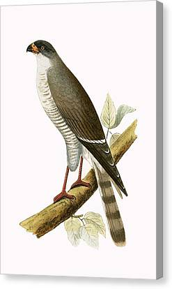 Little Red Billed Hawk Canvas Print by English School