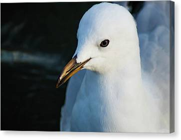 Little Seagull 1 Canvas Print