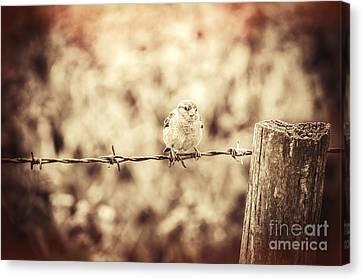 Little Sparrow Canvas Print by Amanda Elwell
