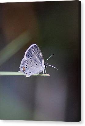 Little Teeny - Butterfly Canvas Print