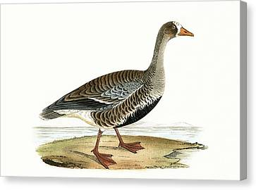 Little White Fronted Goose Canvas Print by English School
