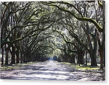 Live Oak Lane In Savannah Canvas Print by Carol Groenen