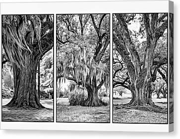 Live Oak Triptych Bw Canvas Print by Steve Harrington