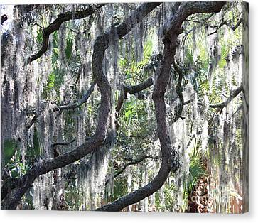 Live Oak With Spanish Moss And Palms Canvas Print by Carol Groenen