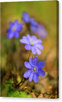 Liverworts In The Afternoon Sunlight Canvas Print
