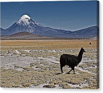 Canvas Print featuring the photograph Llama And Sajama by Ron Dubin