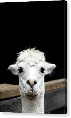 Llama Canvas Print by Lauren Mancke