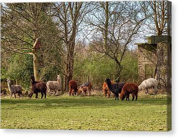 Canvas Print featuring the photograph Alpacas In Scotland by Jeremy Lavender Photography