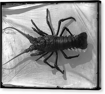 Lobster Black And White Photograph Canvas Print by PhotographyAssociates