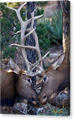 Locking Horns - Well Antlers Canvas Print