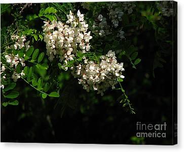 Canvas Print featuring the photograph Locust Blossoms by Deborah Johnson