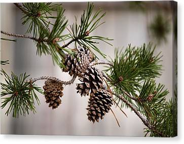 Lodgepole Pine Cones Canvas Print by Karen Scovill