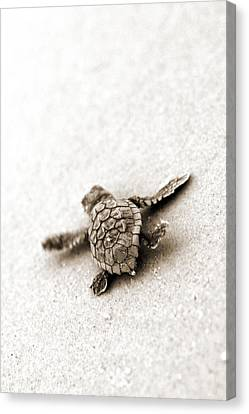 Loggerhead Canvas Print by Michael Stothard