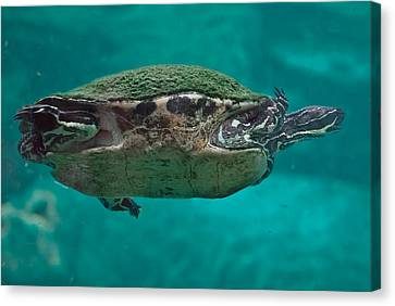 Loggerhead Plastron Canvas Print by DigiArt Diaries by Vicky B Fuller