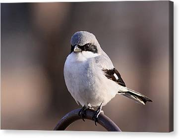 Loggerhead Shrike - Smokey Canvas Print