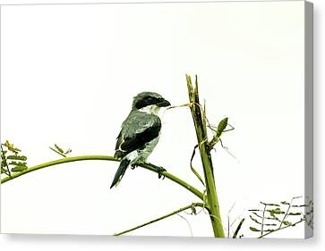 Canvas Print featuring the photograph Loggerhead Shrike And Mantis by Robert Frederick
