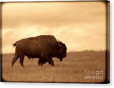 Lone Bison  Canvas Print by American West Legend By Olivier Le Queinec