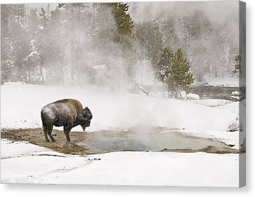 Canvas Print featuring the photograph Bison Keeping Warm by Gary Lengyel