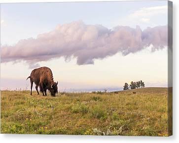 Lone Bison In Black Hills, South Dakota Canvas Print by Jim Hughes