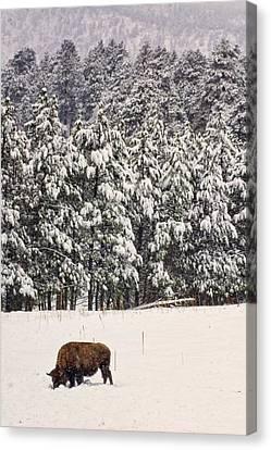 Lone Bison Canvas Print