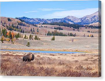 Lone Bull Buffalo Canvas Print by Cindy Singleton