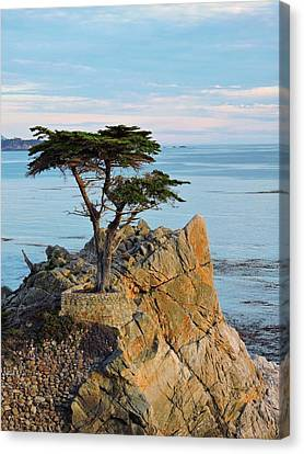 Lone Cypress Canvas Print by Connor Beekman