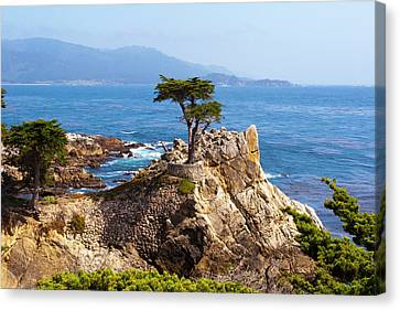 Lone Cypress Canvas Print by Lou Ford