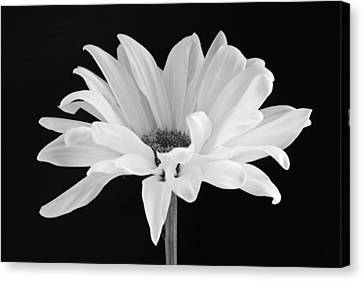 White Canvas Print - Lone Daisy by Harry H Hicklin