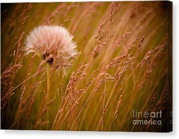 Lone Dandelion Canvas Print by Bob Mintie