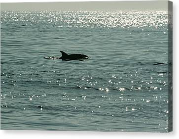 Lone Dolphin Canvas Print by Allan Levin